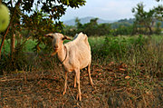 Goat Grazing in Badoc, Ilocos Norte