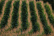 Cornfield (Close-Up)