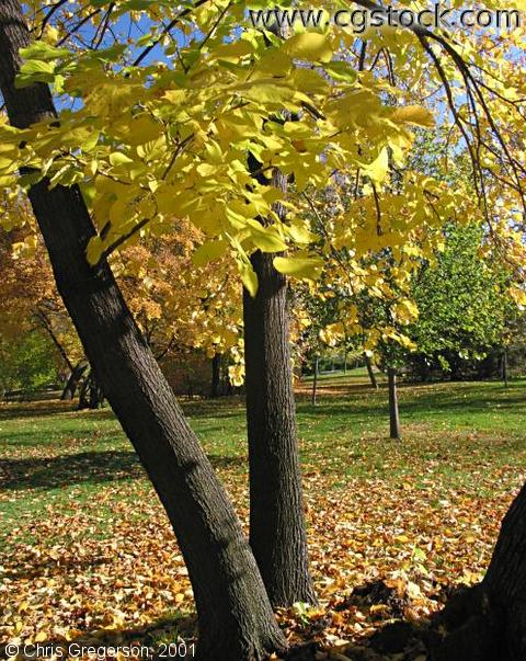 Linden Tree in the Fall