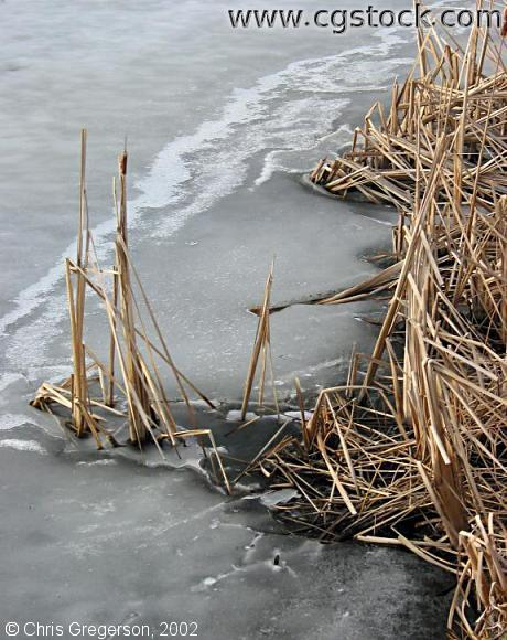 Reeds in Frozen Lake