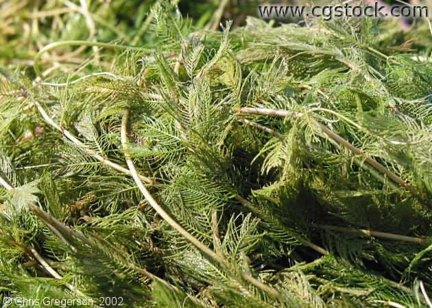 Eurasian Milfoil (close-up)