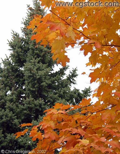 Pine Tree and Maple Tree
