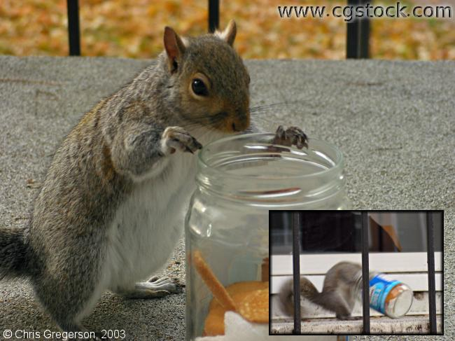 Squirrel and a Cookie Jar