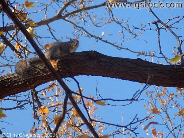 Squirrel on a Tree Branch
