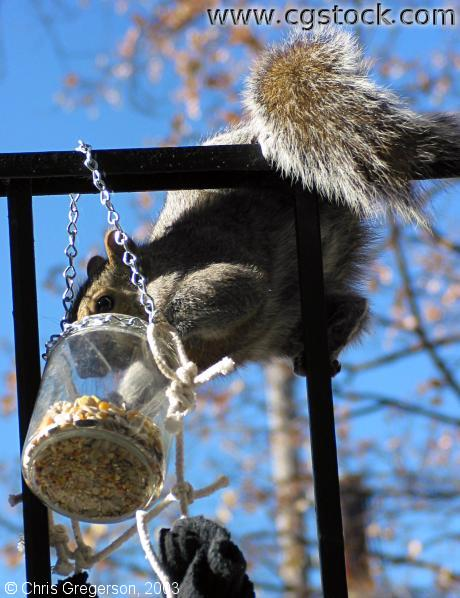 Squirrel Reaching for Feeder