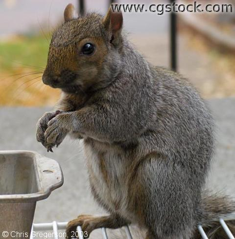 Brownie the Squirrel Standing at Feeder