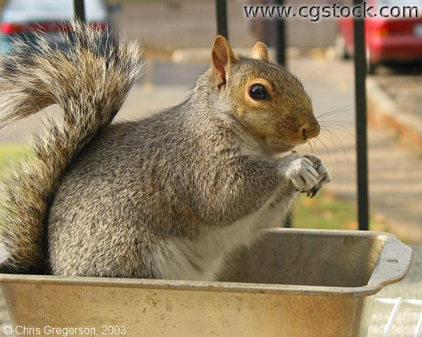 Squirrel in a Breadpan