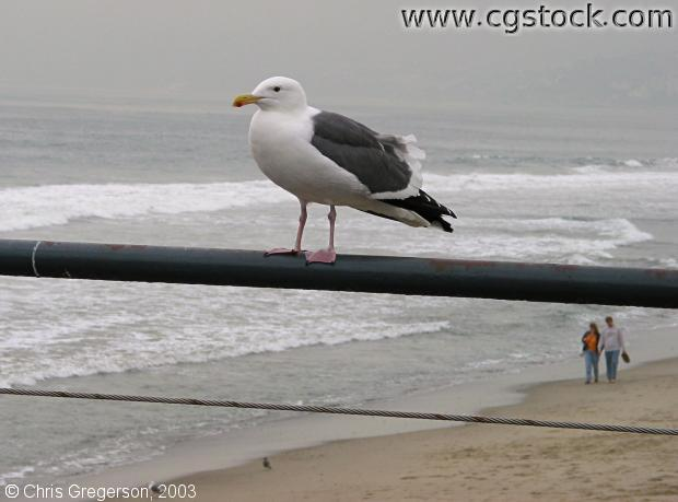 Herring Gull (aka