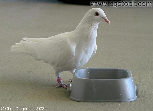 White Dove Standing at Food Dish