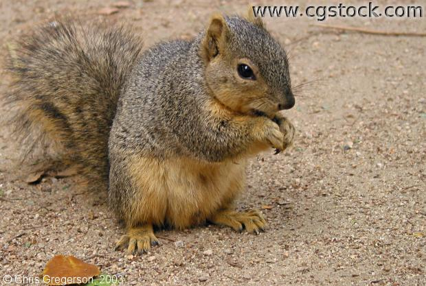Fox Squirrel Eating Cashew