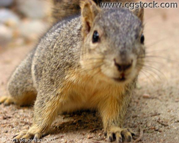 Fox Squirrel Inspecting Camera