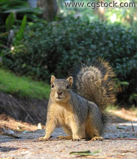 Fox Squirrel at UCLA