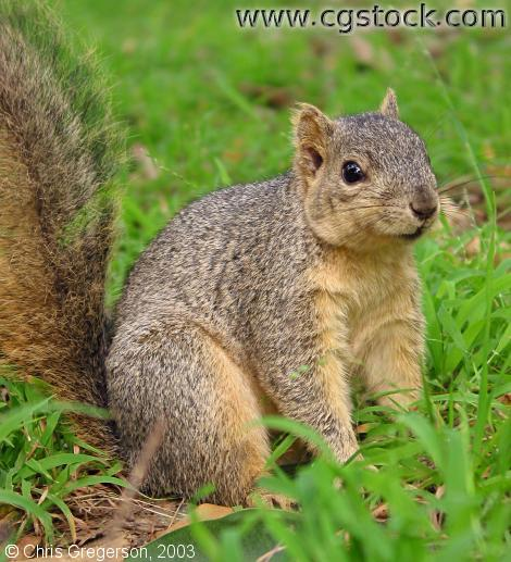 Fox Squirrel Sitting in Park