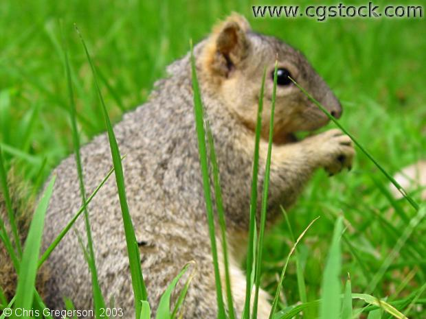 Fox Squirrel Sitting in the Grass