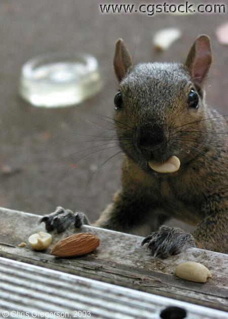 Squirrel with Food in his Mouth