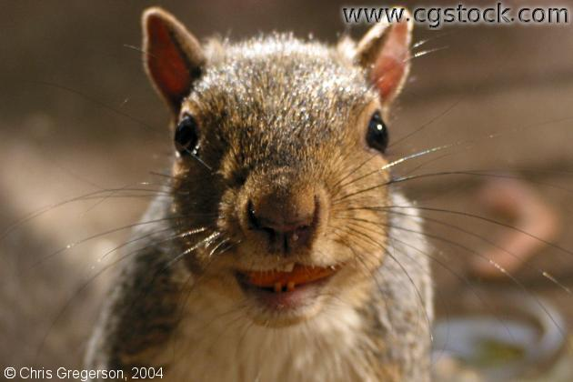 Squirrel With Almond in Mouth