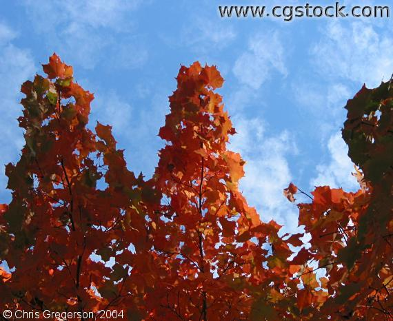 Red Leafs, White Clouds, Blue Sky