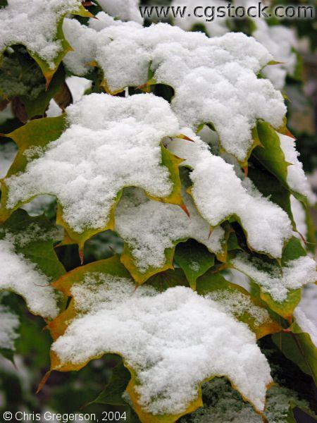 Snow on Maple Leafs
