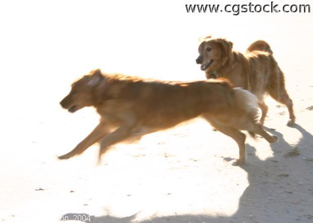 Dogs Playing (Golden Retrievers)