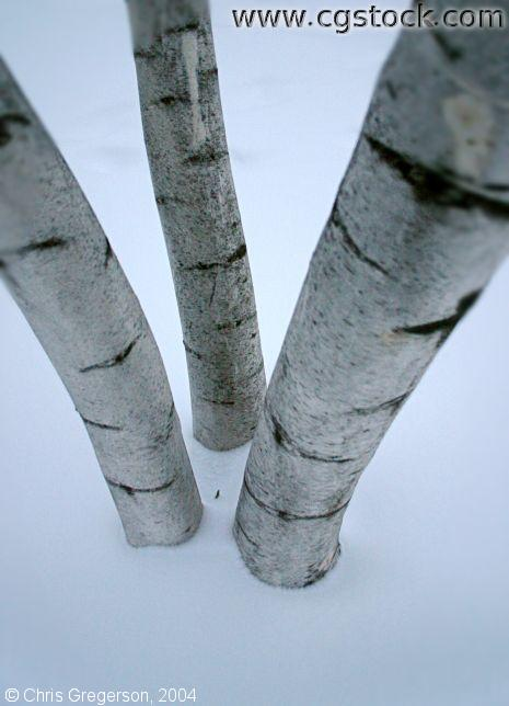 Birch Tree Trunk in Winter