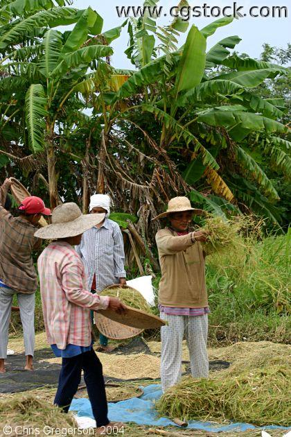 Workers Harvesting Rice Manually