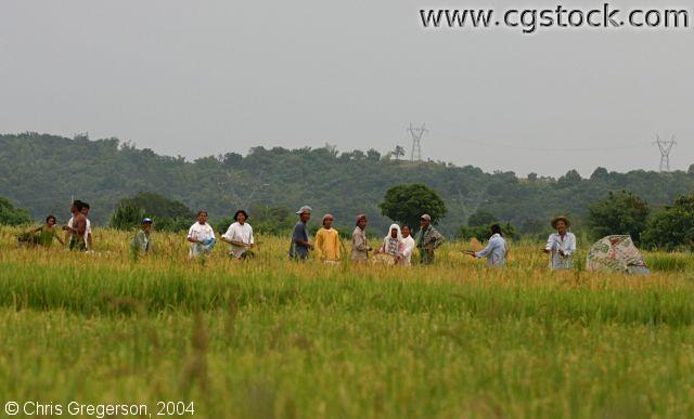Philippine Workers Harvesting Rice