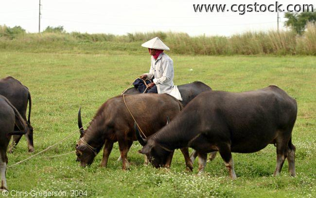 Farmer and Water Buffalo (Caribaou)