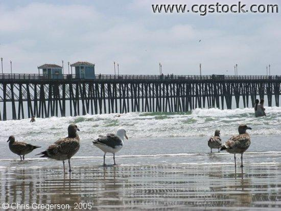 Seagulls on the Beach, Oceanside, California