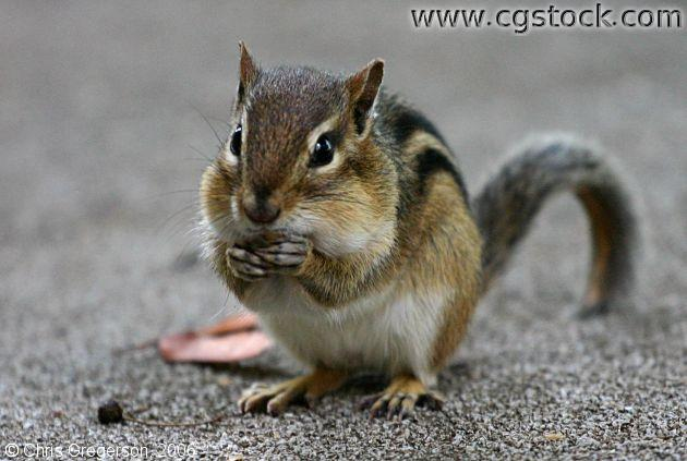 Chipmunk Eating Food