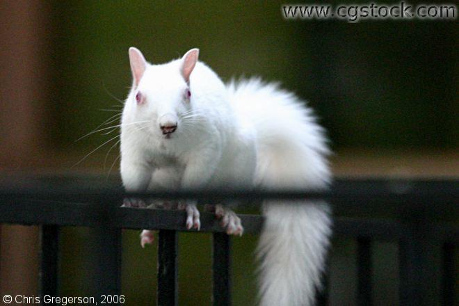 Albino Squirrel / White Squirrel