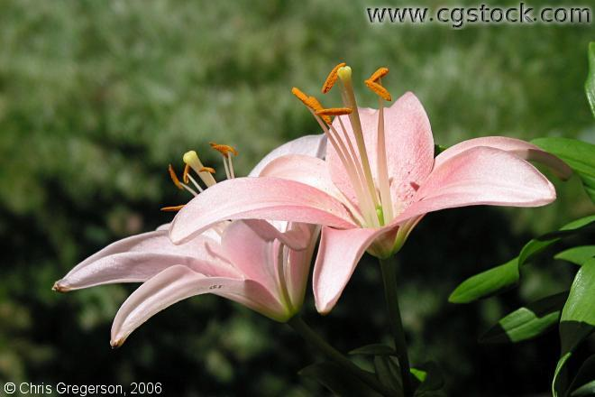 Two Pink Lillies