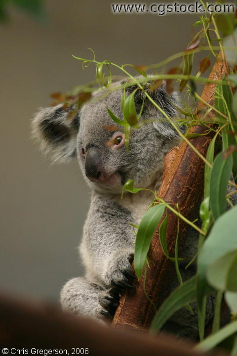 Koala Bear in a Tree (in a Zoo)