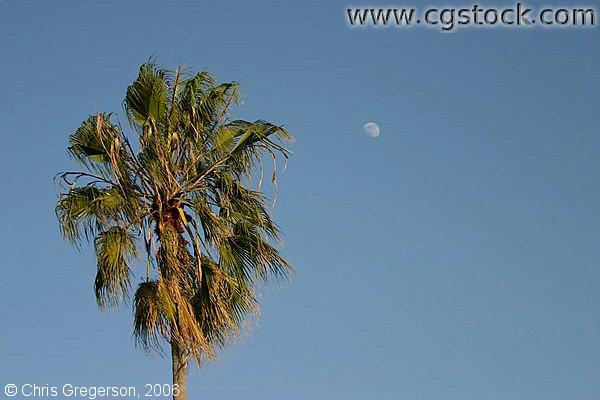 Palm Tree, Blue Sky, and Moon