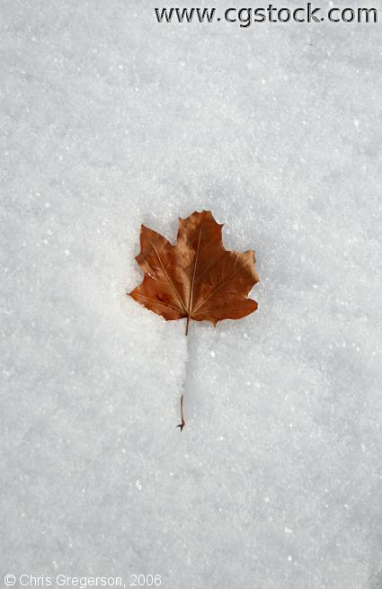 A Single Leaf in Fresh Snow