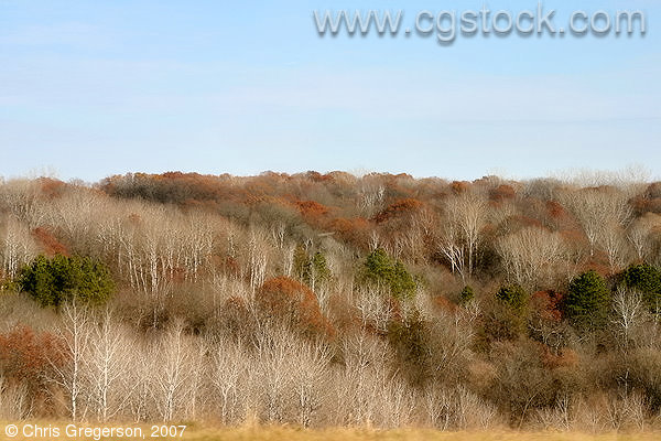 Birch Trees in Late Fall, Wisconsin