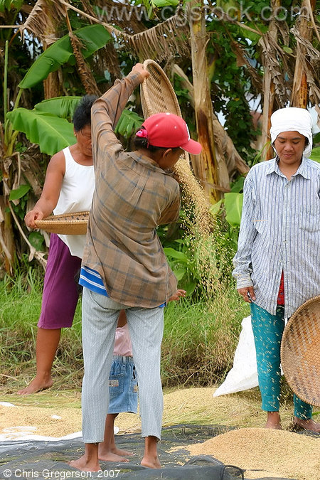 Manual Rice Harvesting in Badoc, Ilocos Norte, the Philippines