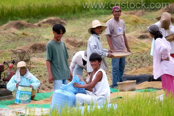 Manual Rice Harvesting in Badoc, Ilocos Norte