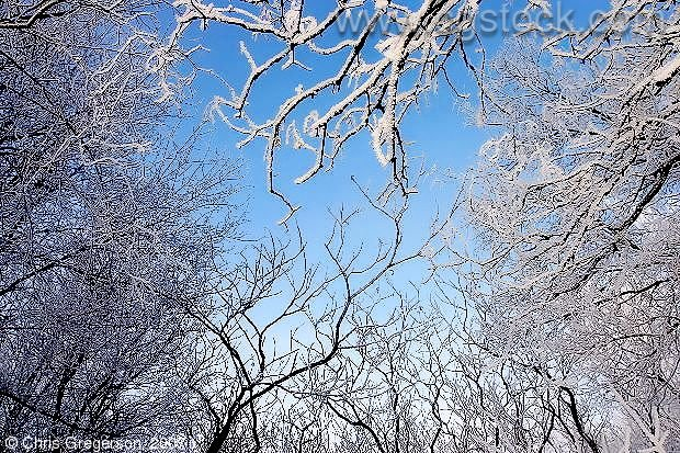 Snow-Covered Tree Branches and Blue Sky