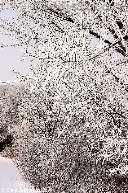 Trees White with Frost in Winter