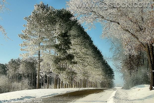 Frost Covered Pine Trees Along Rural Road