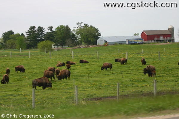 Buffalo on a Wisconsin Farm