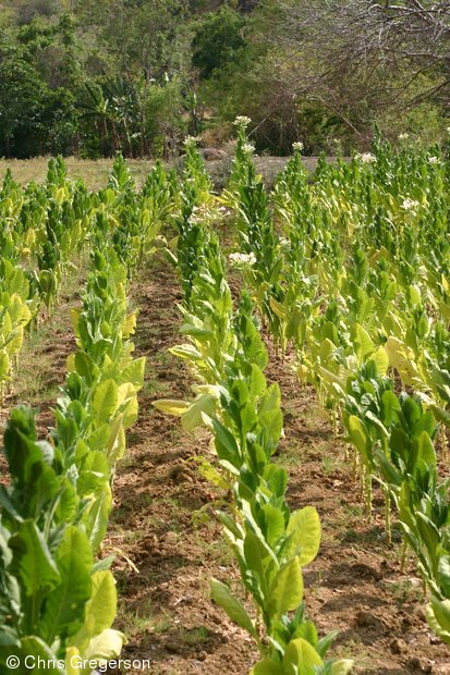 Tobacco Crop in Ilocos Norte, the Philippines