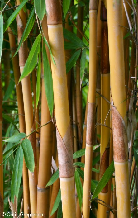 Bamboo Shafts Growing in the Philippines