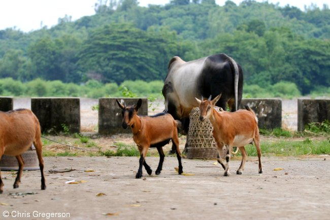 Goats and a Cow in Barangay Las Ud