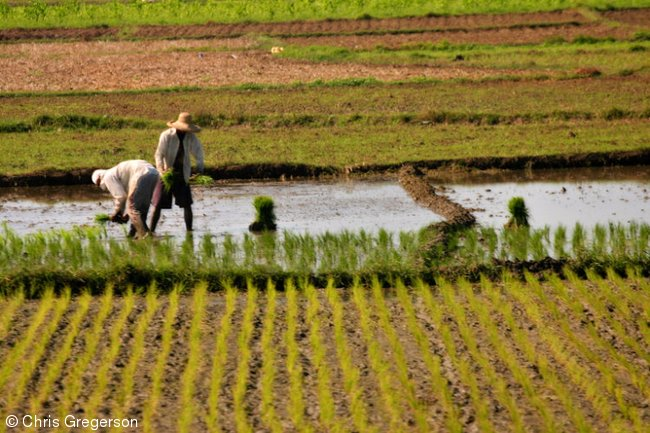 Planting Rice in the Philippines